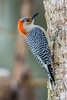 Red Bellied Woodpecker, Corkscrew Swamp