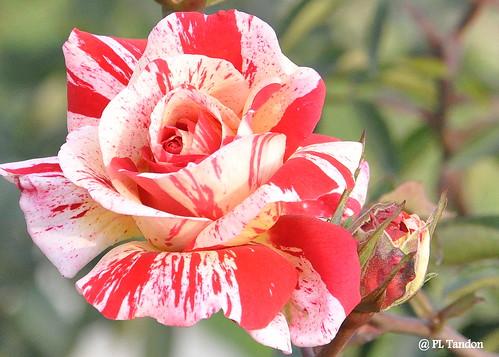Red & White  Bicolor Rose, ZRG 2014, Chandigarh