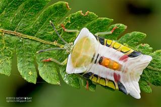 Giant shield bug (Tessaratomidae) - DSC_3224