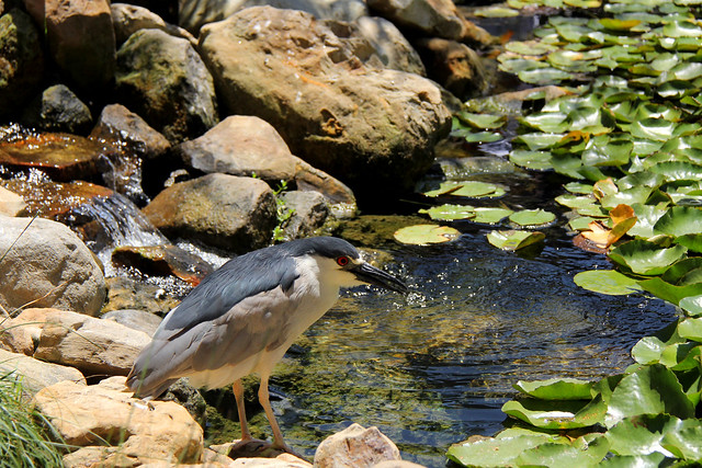 Black-crowned night heron at the Zoo pond.