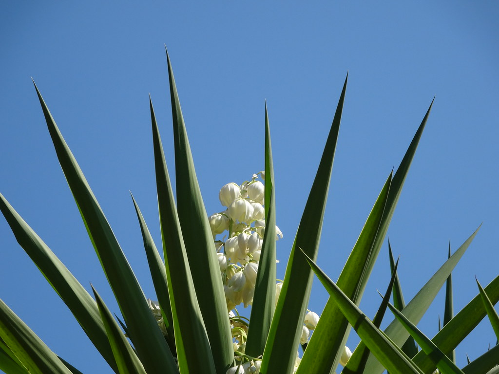 Fiori Yucca.Fiori Bianchi Fiori Di Yucca Fra Flickr