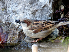 sparrow found some water