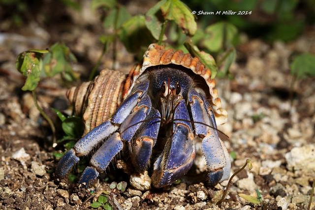 Blueberry hermit crab  -Ie island