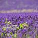Lavender. by ¡arturii!