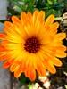 Cosmos flower in my garden