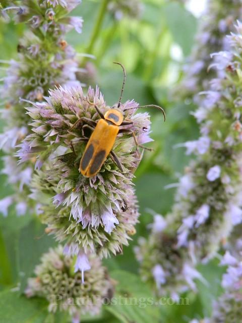 hyssop pollinator