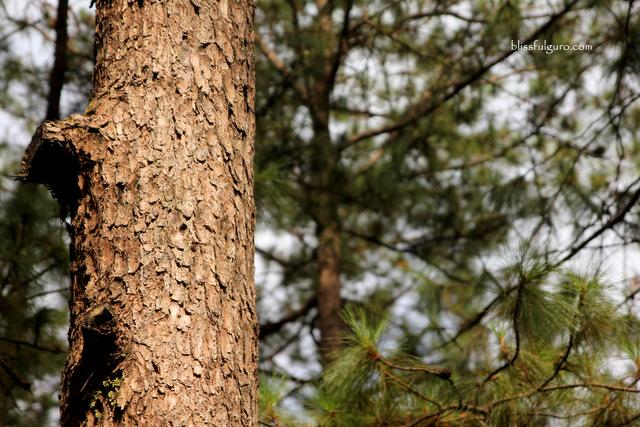 Baguio Pine Tree