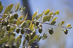 Jojoba fruit