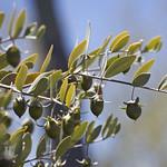 Jojoba fruit