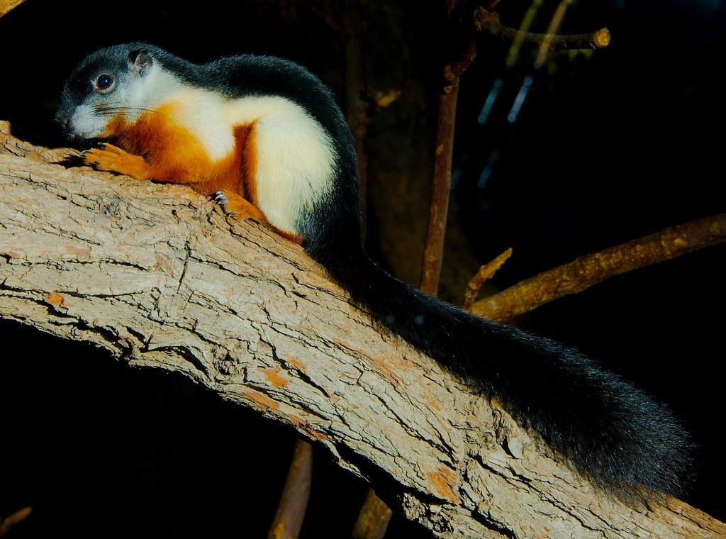 Prevosts Squirrel (Callosciurus prevostii)_15