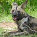Small photo of Wild Dog (Lycaon pictus) female