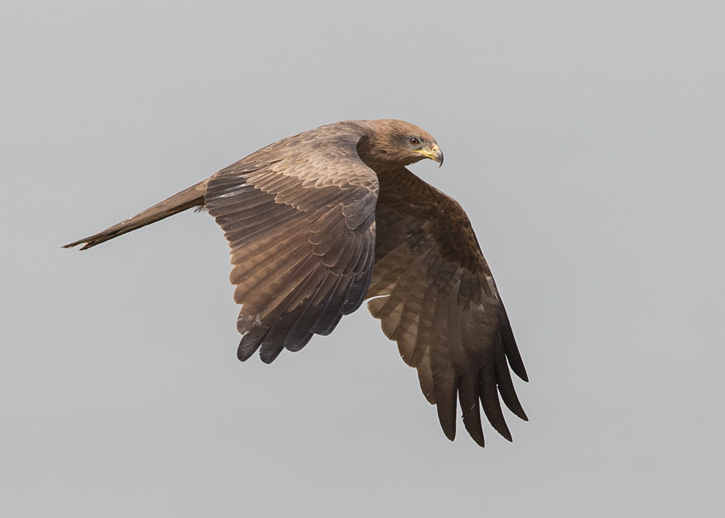 Yellow-billed Kite  Gambia