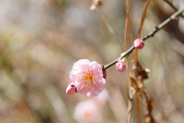 pink ume blossom
