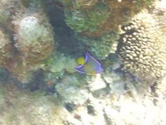 Queen Angelfish (7)