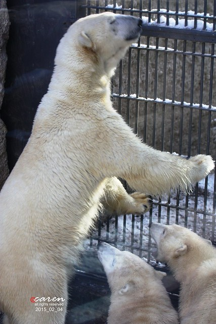 Eisbären Giovanna Nela&Nobby 2015_02_04 215