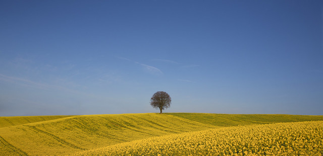 Tree in Yellow Landscape