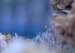 Vintage hydrangea lace