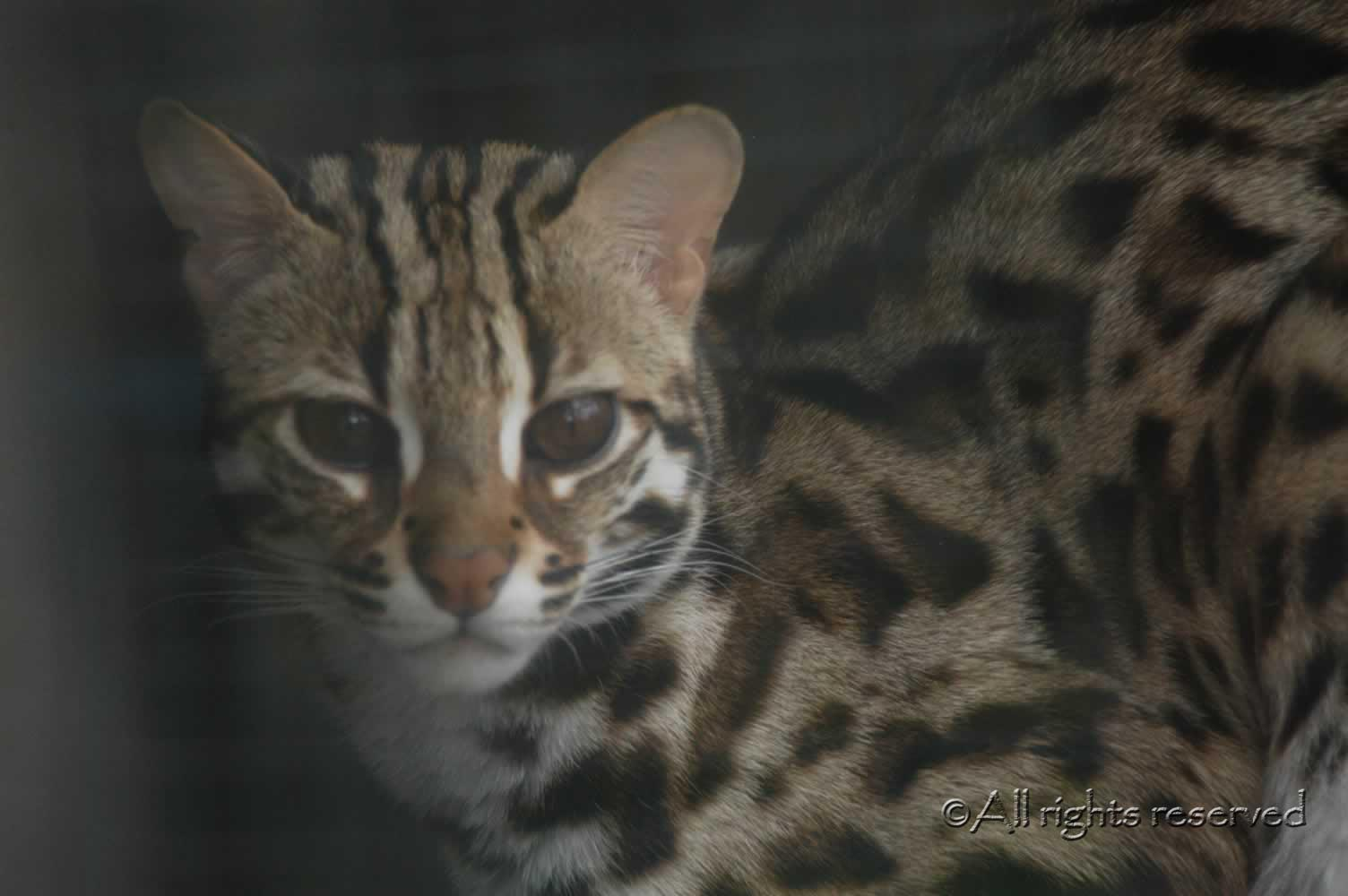 An example of an Asian Leopard Cat- Apollo of Gayzette, hybridising ALC owned by Gayzette Bengals, Scotland
