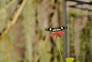 Motýľ Norimberg