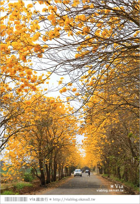 【嘉義黃金風鈴木】嘉義朴子溪防汛道黃金風鈴木~Via推薦!全台最美的金色大道20