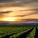 Daffodils & Sunset by esteecha