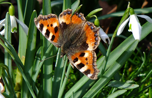 Tortoiseshell butterfly on the snowdrops.