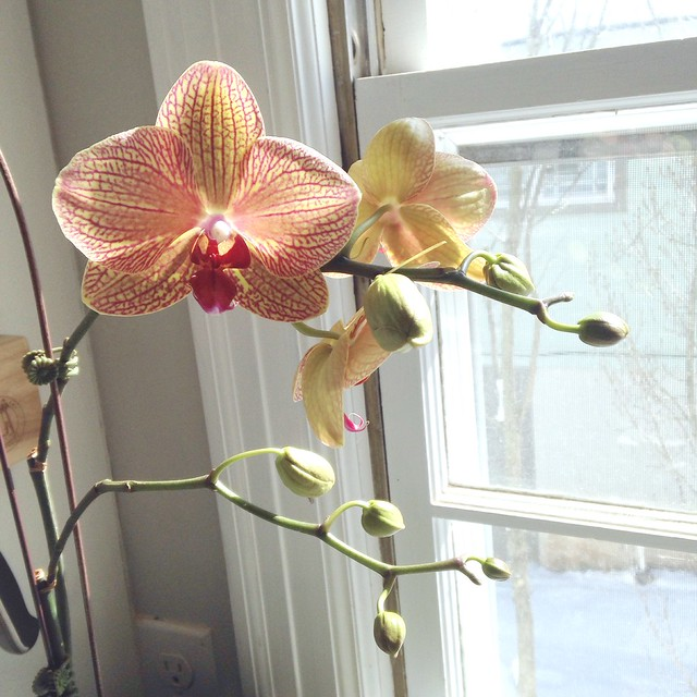 Year-old orchid rebloomed this week