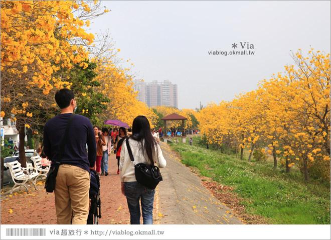 【嘉義景點】嘉義軍輝橋黃金風鈴木~全台最美的堤防!開滿滿的風鈴木美炸了!5