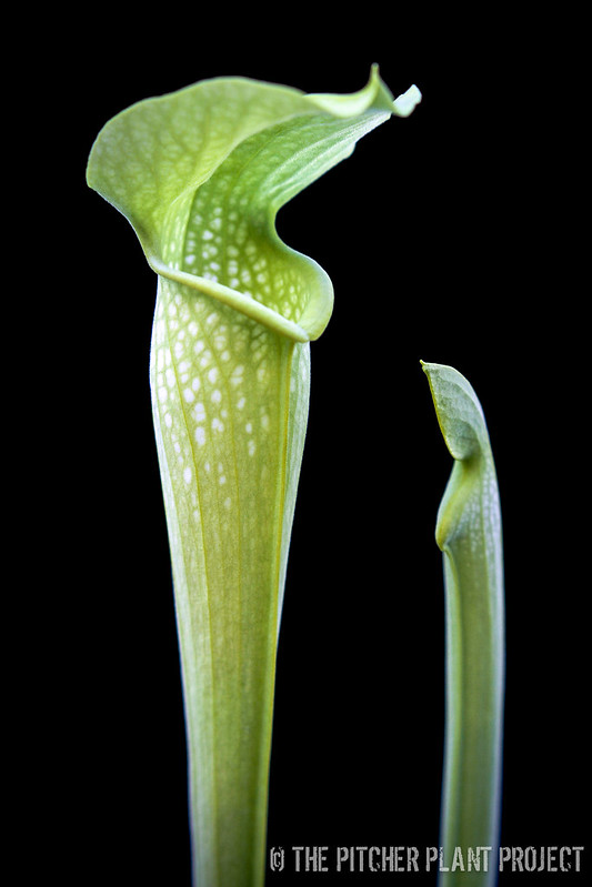 "Sarracenia ""Green Monster"" x alata AF"
