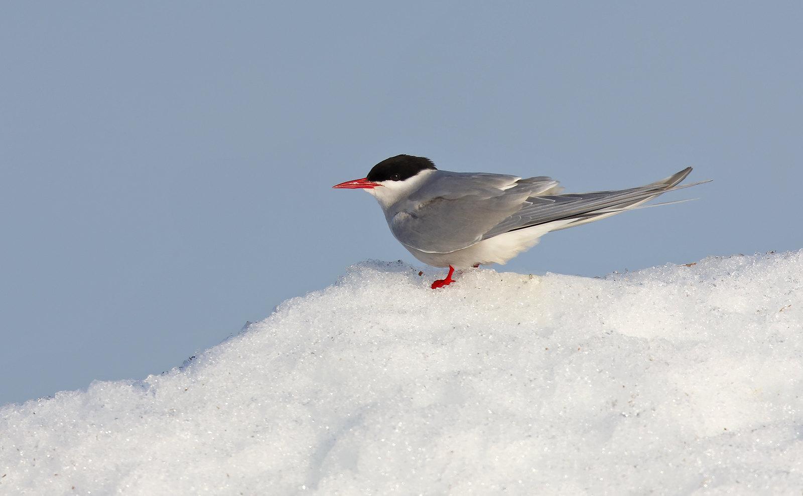 Arctic Tern on snow