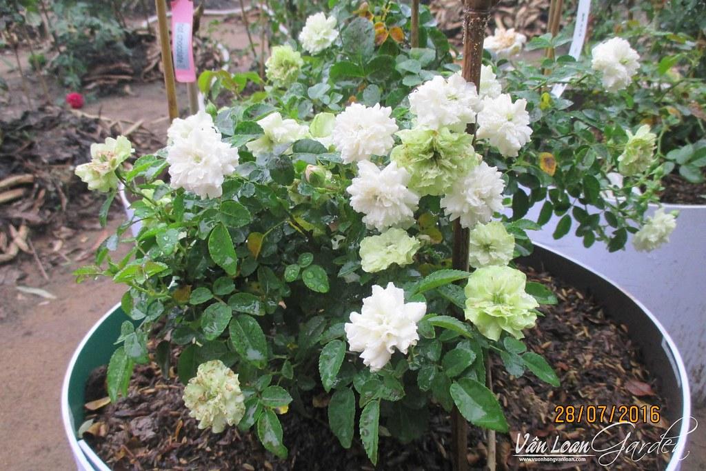 Hoa hồng Green Ice Rose có cành nhánh rất mảnh mai, nên cũng khó nhân giống hơn các giống hoa hồng khác