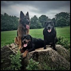 #brooklyndogs #cameraplus #brooklynrottweiler #rottweiler #brooklyndog #nycrottweilers