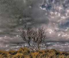 Stunted tree (1)