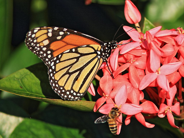 Monarch butterfly on Ixora 20150106