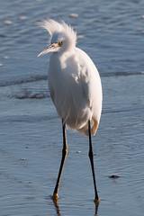 IMG_8645.jpg  Snowy Egret, Monterey Bay