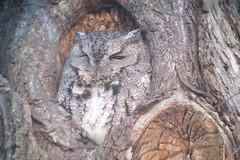 Eastern Screech-Owl, LaSalle Park, Burlington, ON