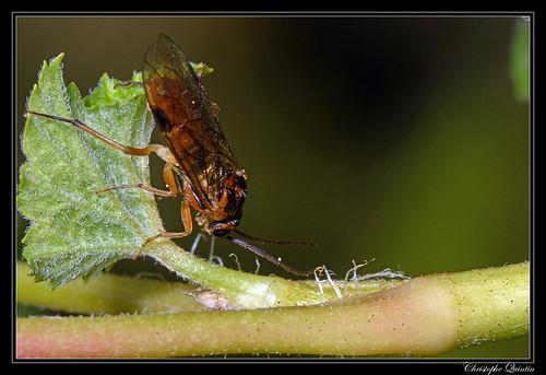 Nematinae (Amauronematus sp. ?)