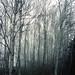 Misty Birches by tomootaphotos