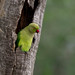 Rose-ringed parakeet - Sri Lanka by Donna Hampshire