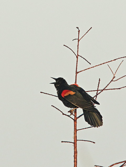 Red-winged Blackbird singing 20150302