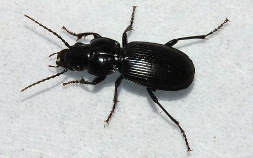 Pterostichus madidus3898