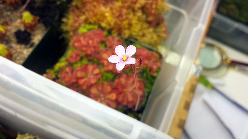 Drosera natalensis flower.