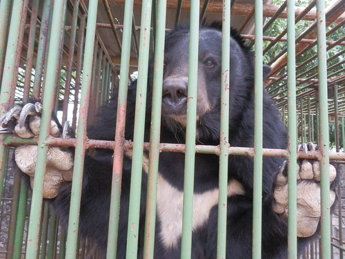 Bear in the cage on Cau Trang bear farm