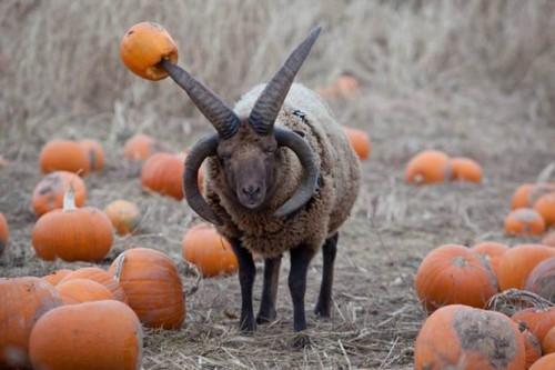 出現在英國觀光農場「Hatton Adventure World」的惡魔羊