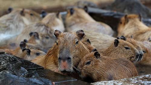 Baños termales para capibaras