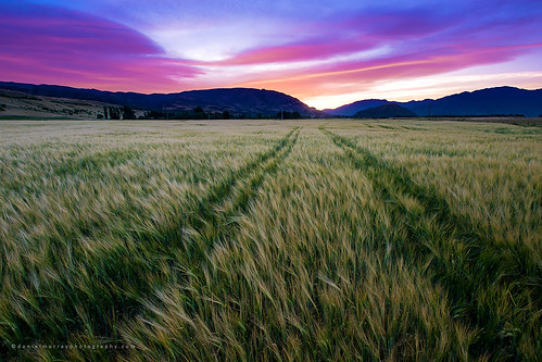 new sunset field barley landscape evening scenery farm harvest zealand crop nz wanaka paddock southnz