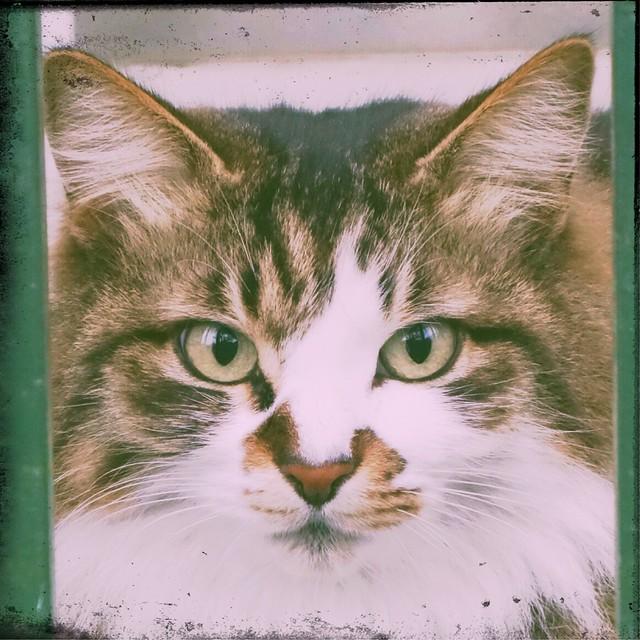Siberian cat staring at the camera
