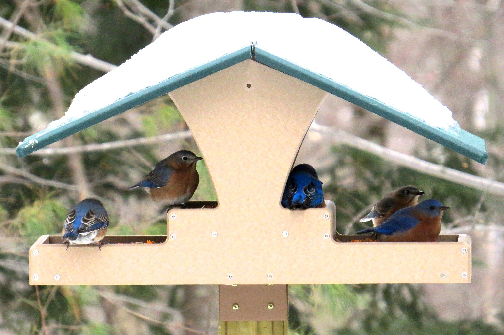 bluebirds five