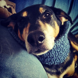 "'Does this cowl make me look extra cute?"" - Tut #dogstagram #knitstagram #rescued #coonhoundmix #handknit #cowl"