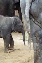 animal, indian elephant, elephant, elephants and mammoths, african elephant, fauna, safari, wildlife,